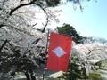 新発田城内の桜