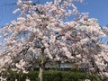 しだれ桜 城