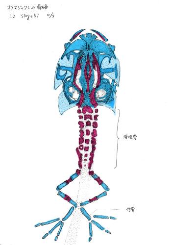 カエルのスケッチ)高解像度6