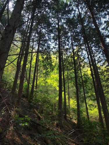 杉林@鹿嵐山下山ルート