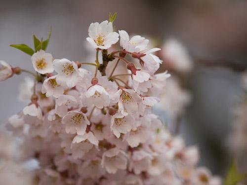 醍醐桜(アズマヒガン)