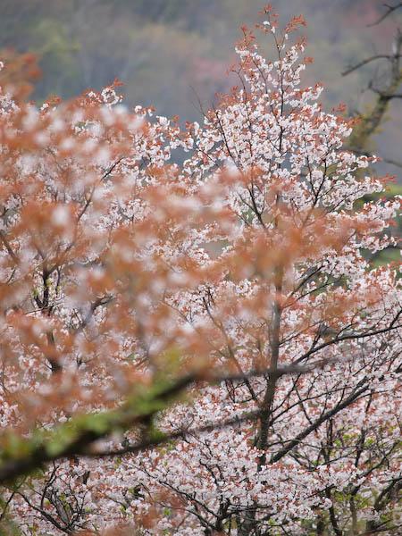 鶴見岳の山桜