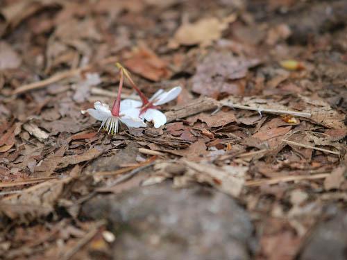 山桜の落花