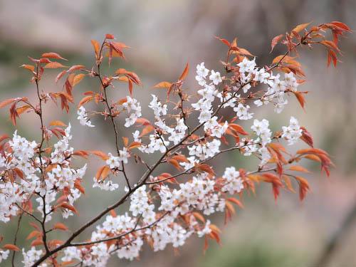 山桜@鶴見岳