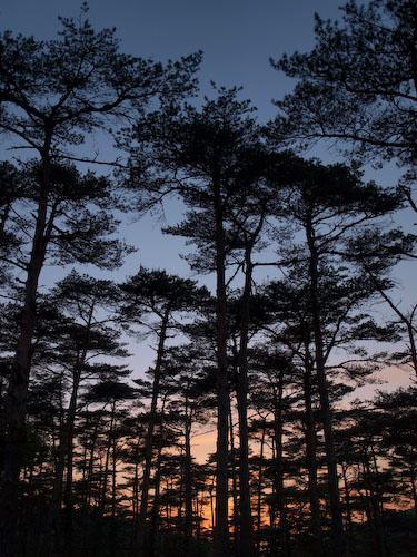 松林の夕暮れ