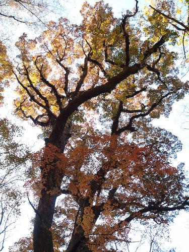 鳴子川の大木