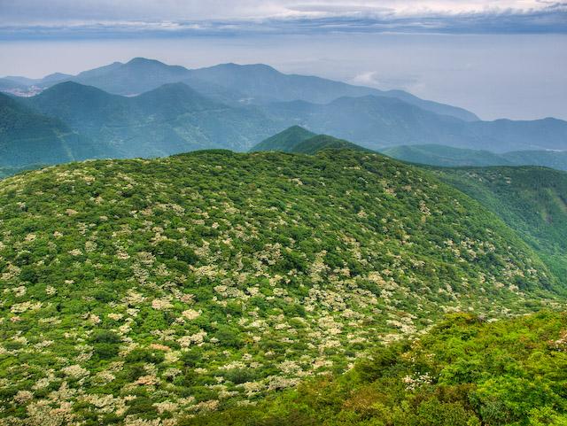 九千部岳山麓のヤマボウシ