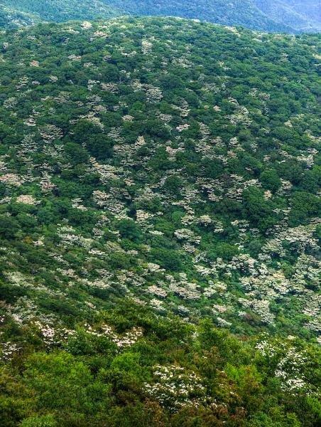九千部岳のヤマボウシ
