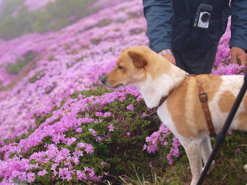 登山する犬@平治岳