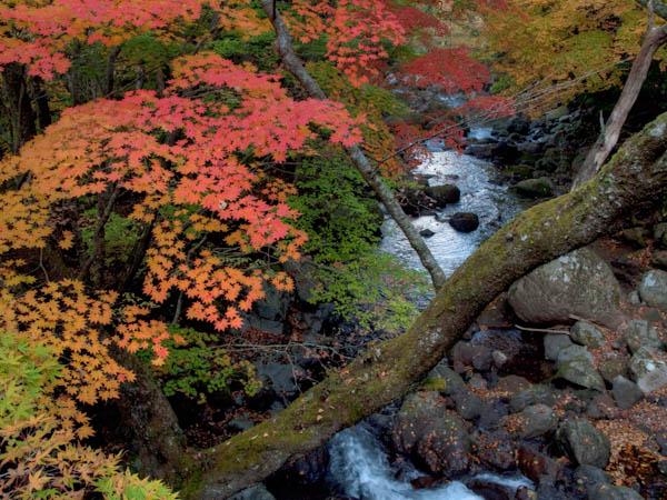 鳴子橋の紅葉