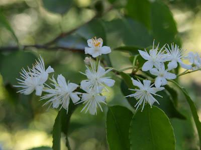 黒金尾根の白い花