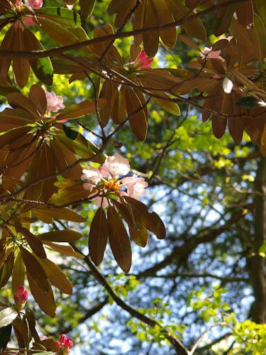 黒金尾根の石楠花