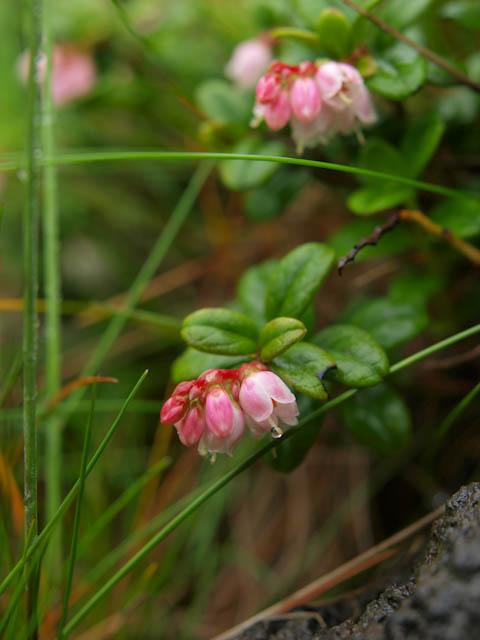 コケモモの花