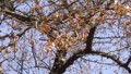 2016/3/26 新宿御苑の桜