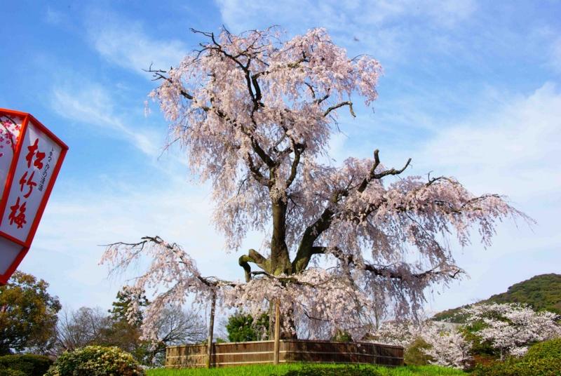 3:54 pm 京都は祇園の丸山公園の画像