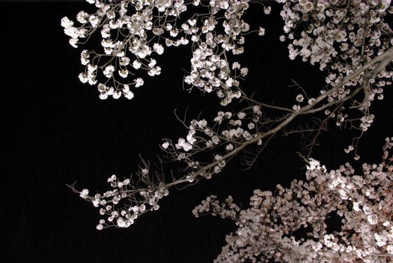 6:58 pm ~ 7:16 pm ~ 7:28 pm これが夜桜だの画像