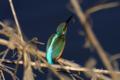 [bird]カワセミ