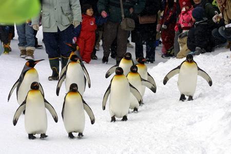散歩するキングペンギン@旭山動物園