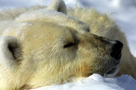 冬は本領発揮なシロクマ@旭山動物園