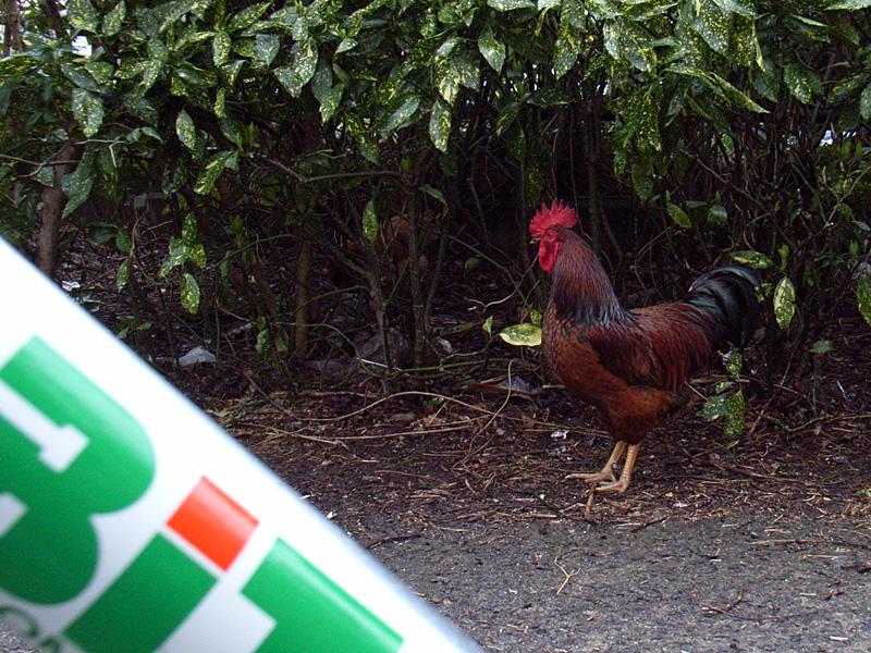 公園に雄鶏…