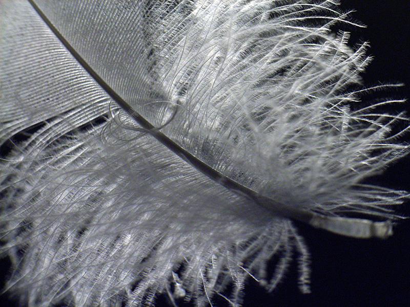 白鳥の羽毛