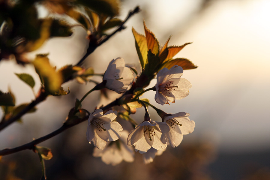 桜2007@箱根峠近くで