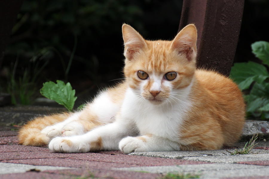 白茶な子猫は通常の眼の色