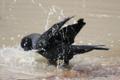[bird]ハシブトガラスの水浴び