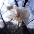 [花]桜2009