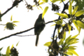 [bird]ウグイス…?