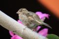 [bird]ハワイスズメ…