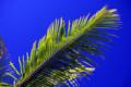 [風景]ハワイ島、やしの葉