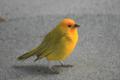 [bird]ハワイ島、コナ国際空港で会ったSaffron Finch