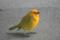 ハワイ島、コナ国際空港で会ったSaffron Finch