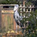 [bird]上野動物公園のハシビロコウ