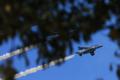 [飛行機][入間2010]ブルーインパルス…樹が!