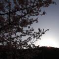 [風景][花]河津桜、陽はすでに山の端に