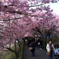 [風景][花]河津桜