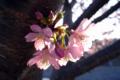 [花]河津桜