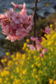 [花]河津桜と菜の花
