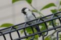 [bird]シジュウカラ