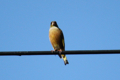 [bird]カワラヒワ?、山梨県南都留郡富士河口湖町