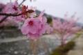 [flower][風景][tour]八重桜、道の駅どうし