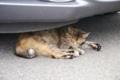 [猫]昼寝中