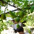 [tour][風景]アケビ、そば処轟家、山梨県