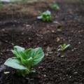 [畑][風景]ジャガイモが発芽しました