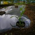 [畑][風景]トウモロコシが発芽しました