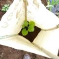 [畑][風景]カボチャ苗を植えました