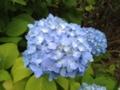 [flower]紫陽花