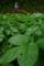 ジャガイモの葉